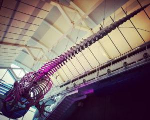 セミクジラの骨標本・茨城大洗アクアパーク