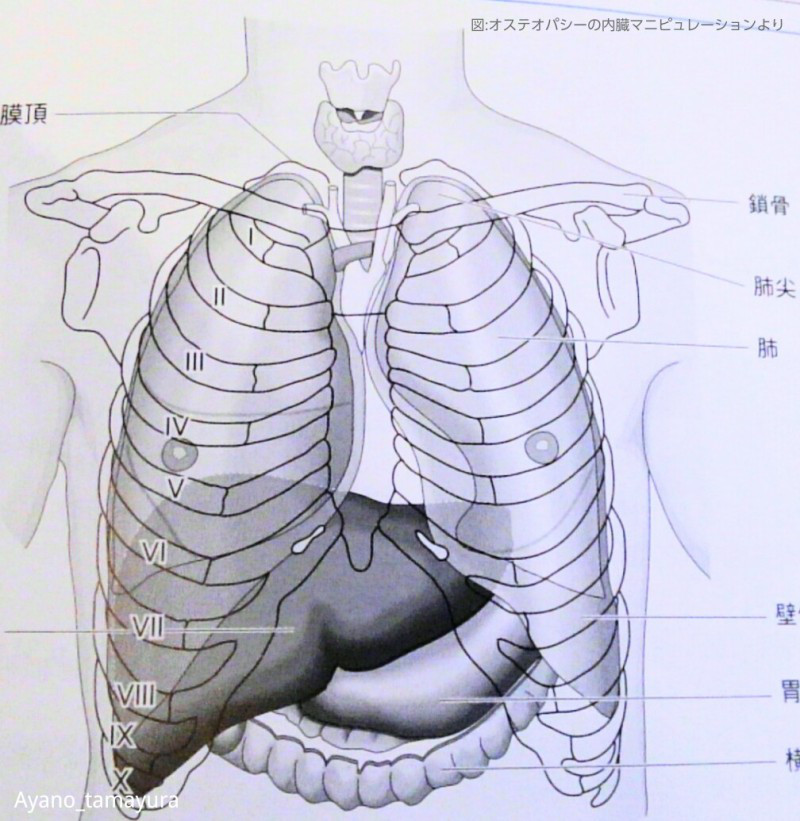 肺の位置や形、大きさ